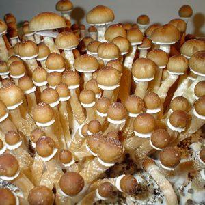 Burma Mushroom Spores