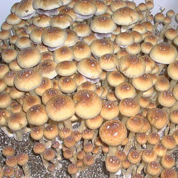 Creeper Mushroom Spores